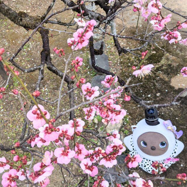北野天満宮の梅とラボットまめりんご